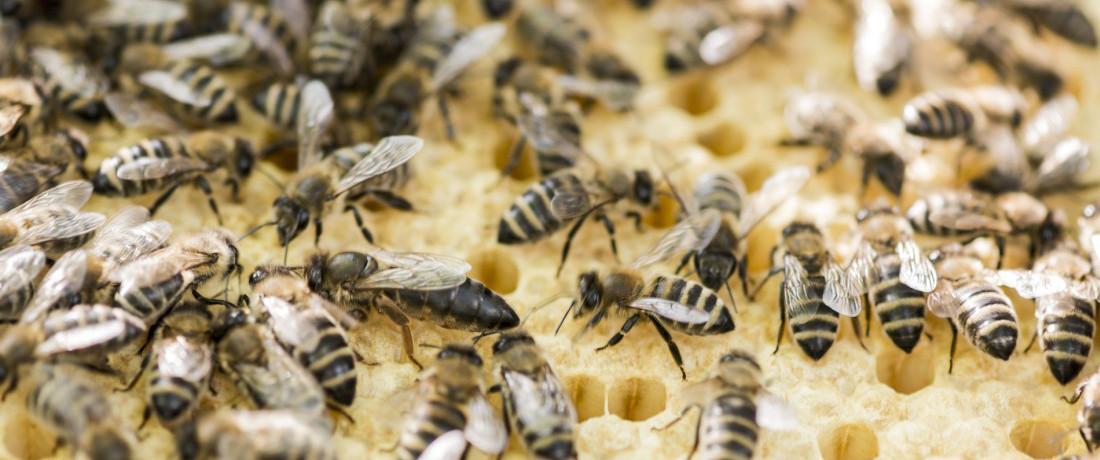 räuberei bei den bienen
